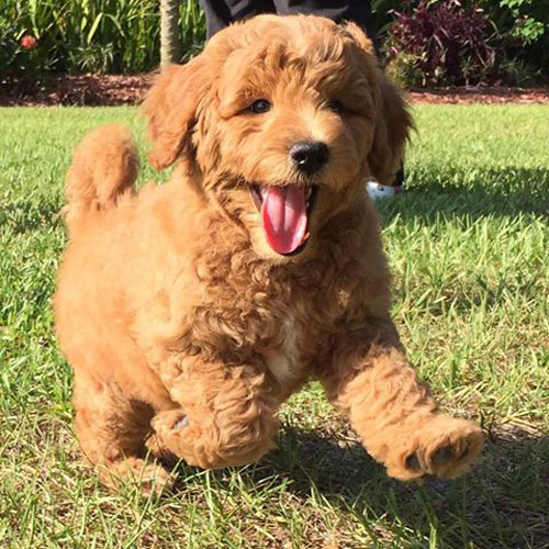 Adoption Process Of Goldendoodle Puppies By Moss Creek Goldendoodles