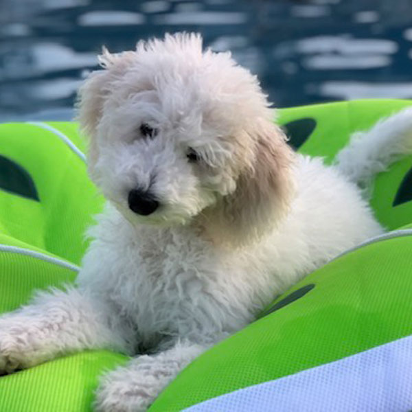 Testimonials and Reviews of Goldendoodle Puppies by Moss