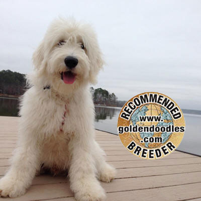 English Goldendoodle Recommended Breeder in Florida