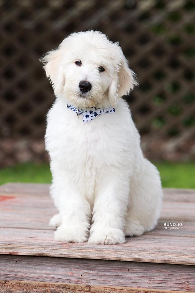 Goldendoodle Generations For Puppies By Moss Creek Goldendoodles In