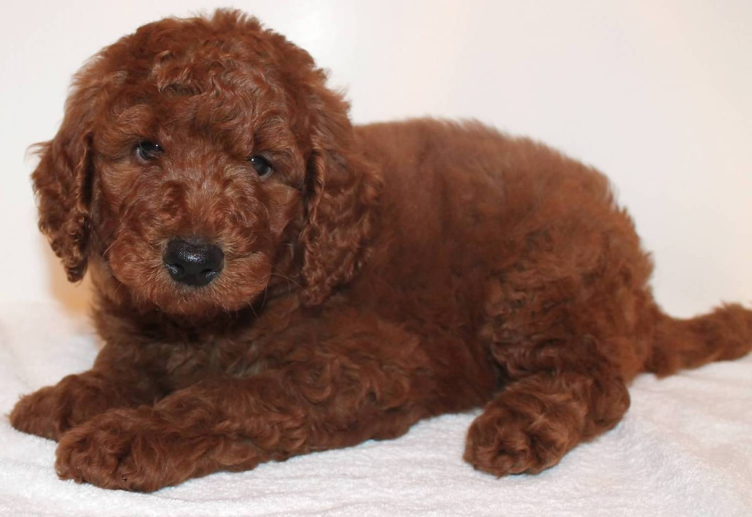 Goldendoodle Puppy Col...