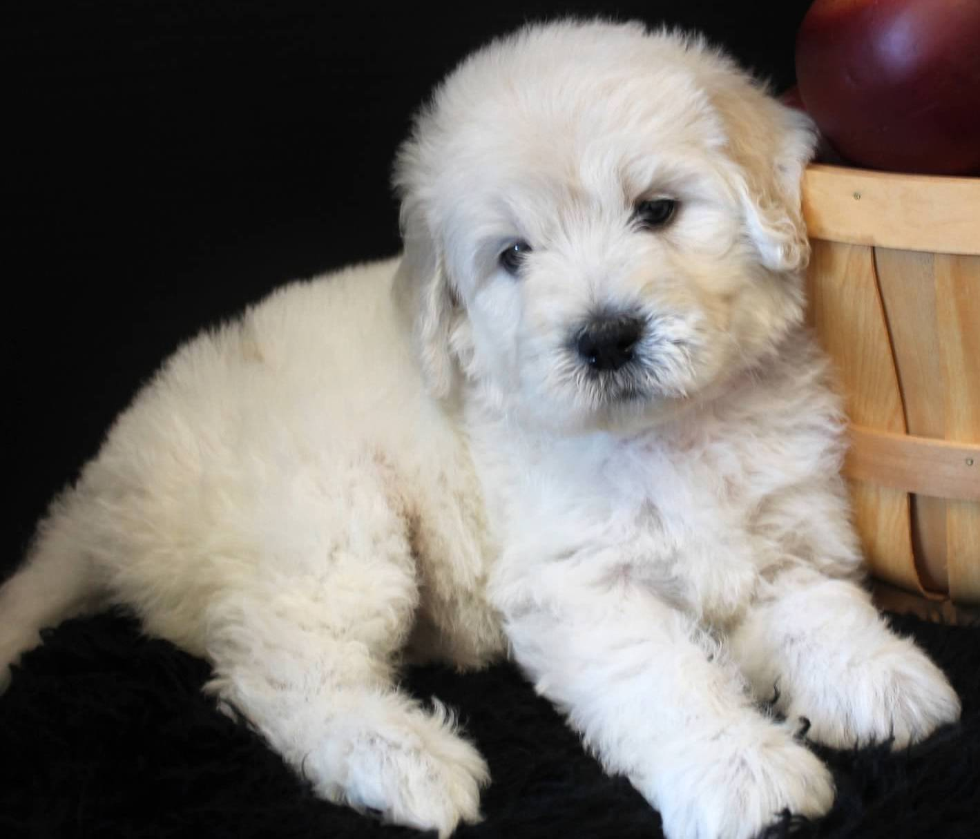 Goldendoodle Puppy Colors By Moss Creek Goldendoodles In Florida