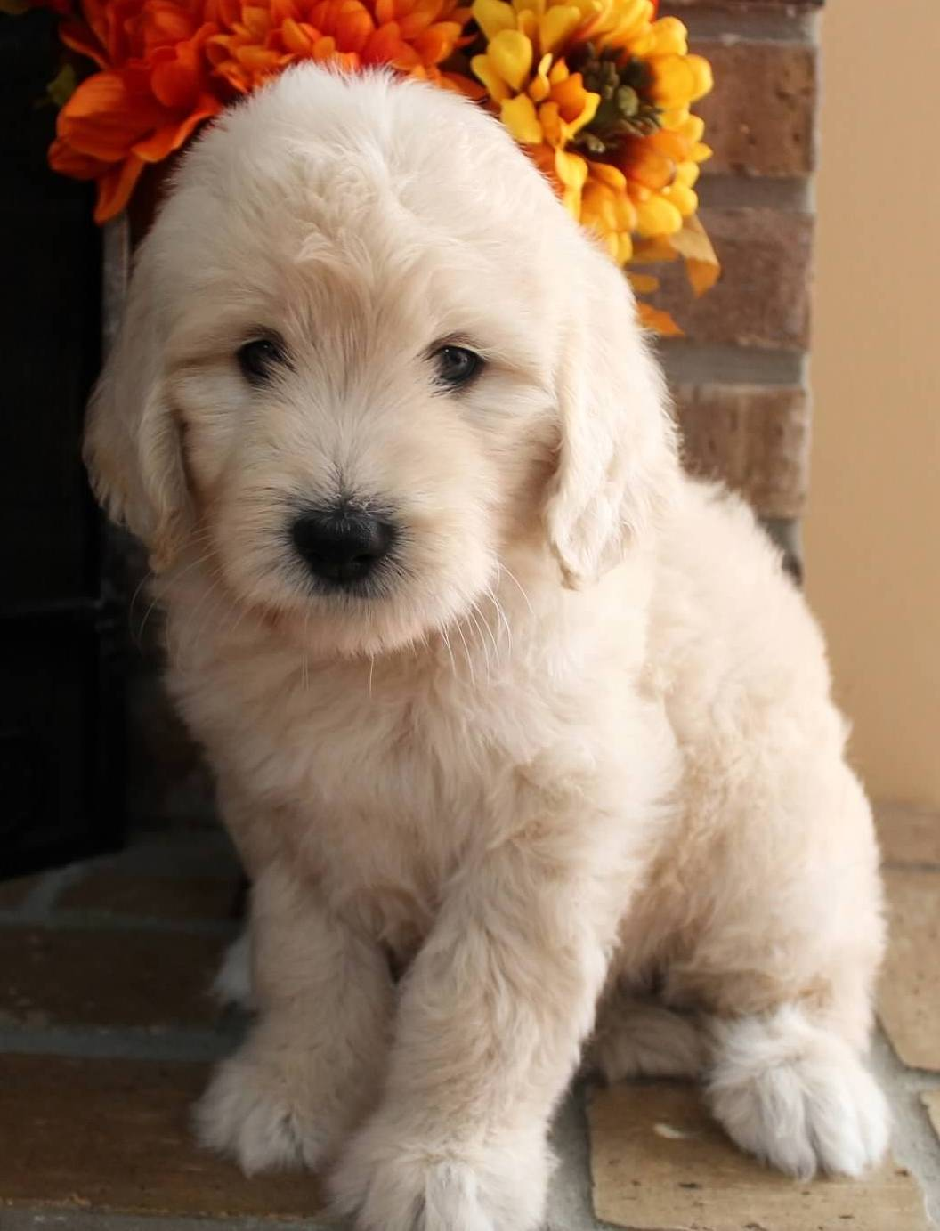 Goldendoodle Puppy Colors by Moss Creek Goldendoodles in