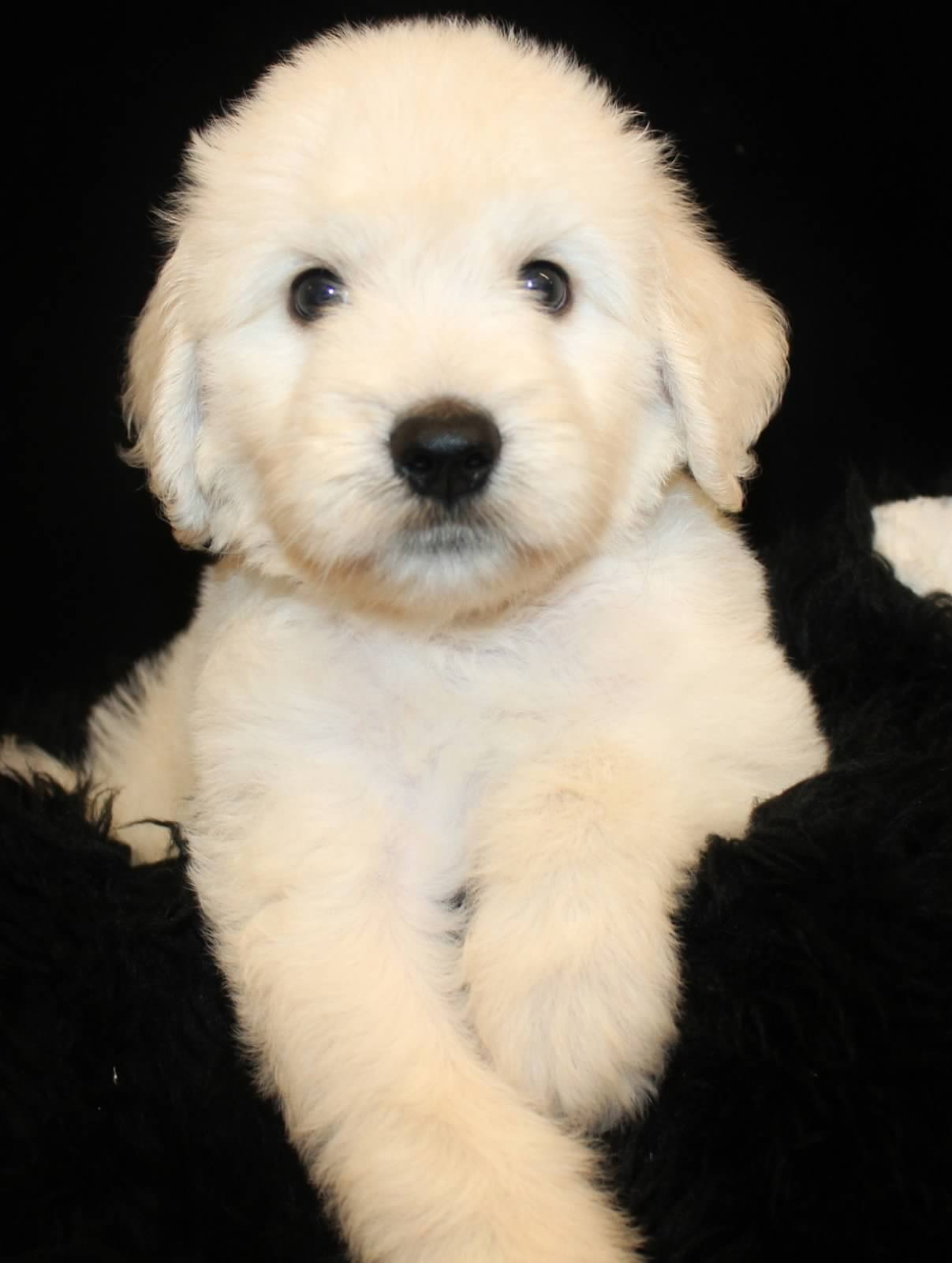 White Goldendoodles Goldendoodle Puppy Col...