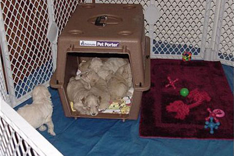 Crate Training at Moss Creek Goldendoodles