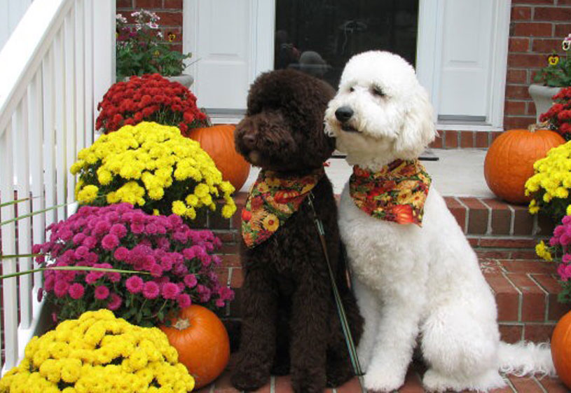 Goldendoodle Puppies by Moss Creek Doodles