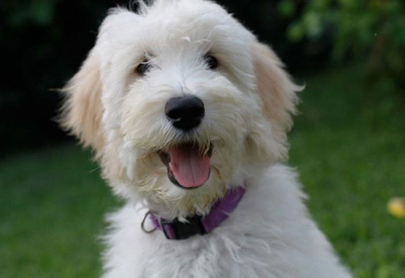 Goldendoodle Puppies by Moss Creek Goldendoodles in Florida