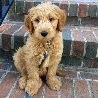 Testimonials and Reviews of Goldendoodle Puppies by Moss ...