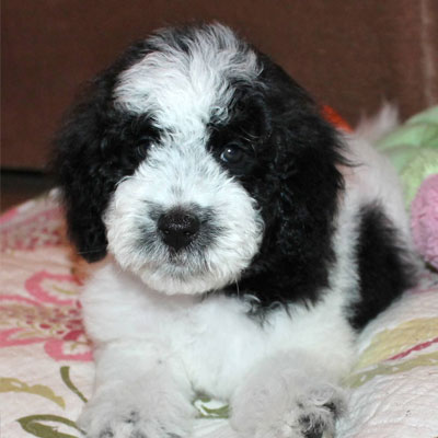 Black And White Goldendoodle Puppies