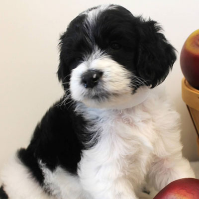 English black and white parti goldendoodles