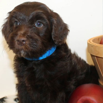 Chocolate Brown Goldendoodle