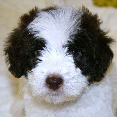 Goldendoodle Puppy Colors By Moss Creek