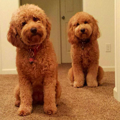 Goldendoodle Generations For Puppies By Moss Creek