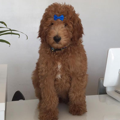 English F1B Goldendoodles